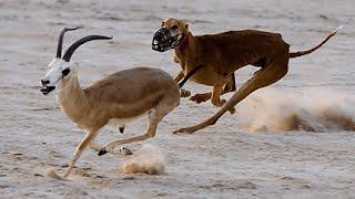 وثائقي I عالم الحيوانات المفترسة I الكلاب السلوقية وبدو الصحراء